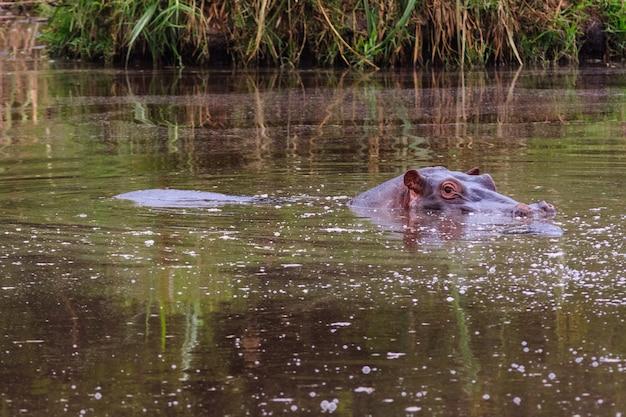 Бегемот в маленьком пруду