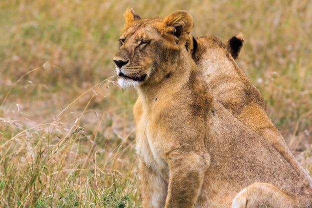 ライオンの子の肖像画。ケニア、アフリカ