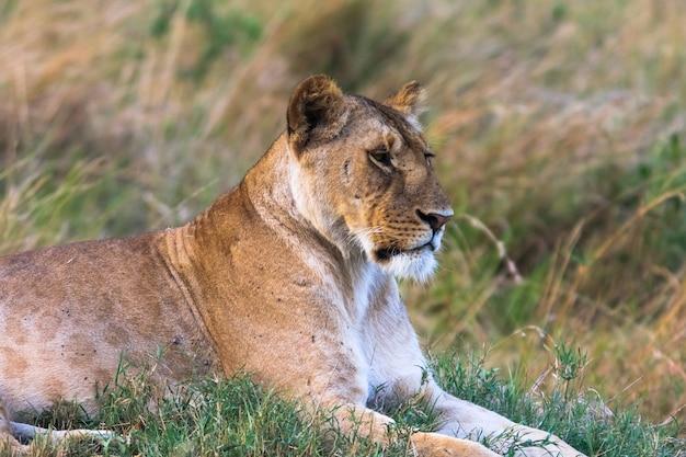 草の上に安静時の雌ライオンの肖像画。ケニア、アフリカ