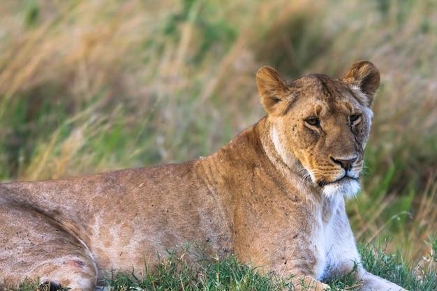 草の上に安静時の雌ライオンの肖像画。マサイマラ、ケニア