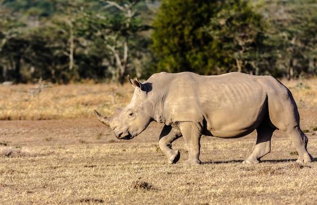 Большой белый носорог в саванне. накуру, кения