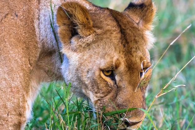 大きな雌ライオンの頭。ケニア、アフリカ