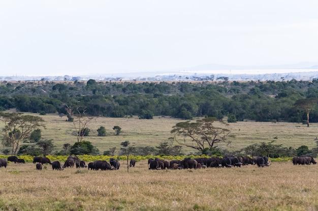 Панорама саванны. буйволы. большие стада африки. накуру, кения.
