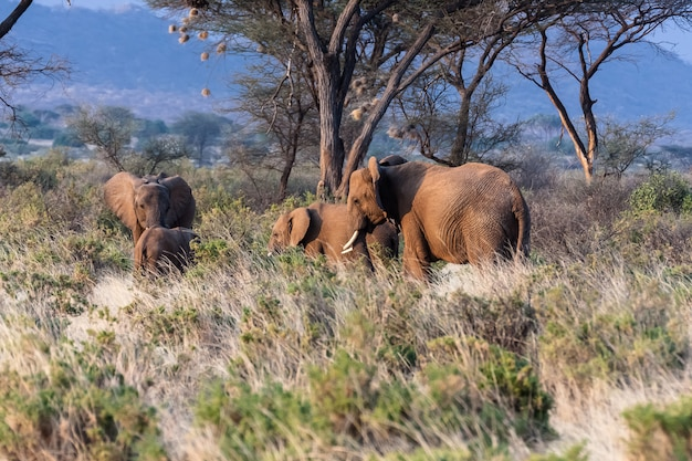 象の家族。ケニア、アフリカ