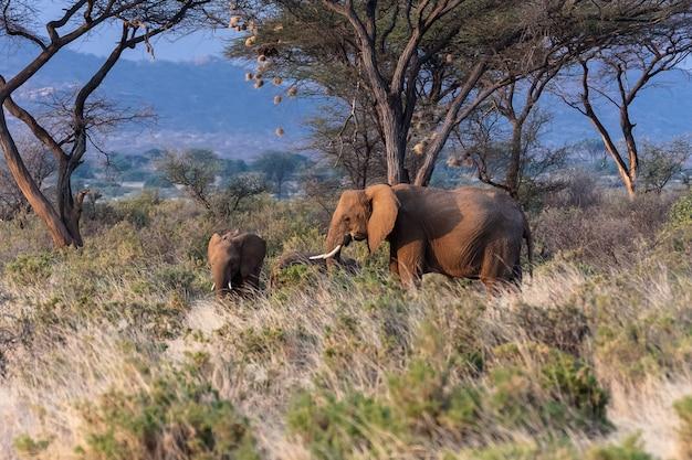 Слоны в парке самбуру. кения, африка