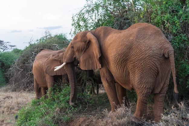 Семья слонов возле дерева. кения, африка