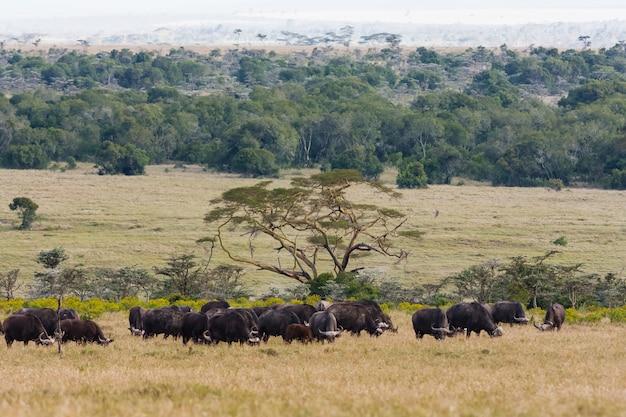 Панорама по саванне с буйволами. большие стада африки. пейзаж с буйволами. накуру, кения.