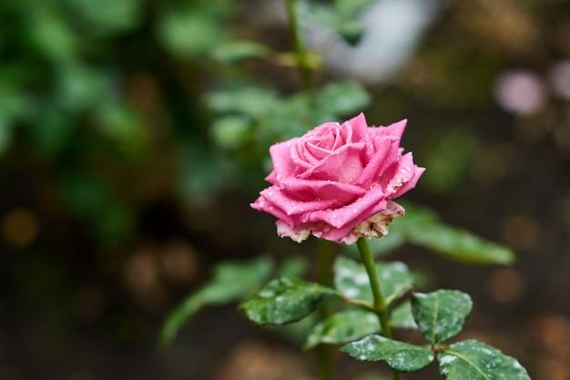 Розовая роза с каплями дождя на фоне розовых роз