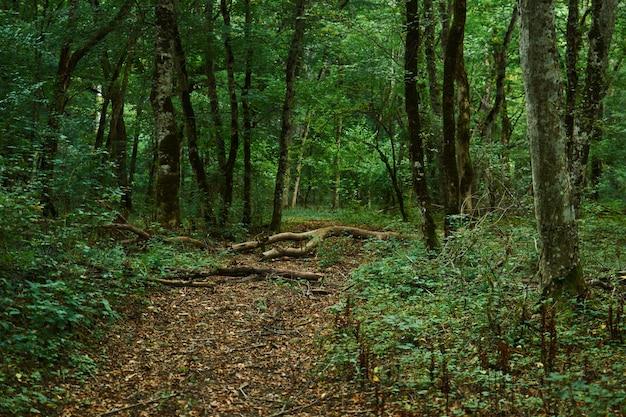 Тропинка, ведущая через зеленый лес