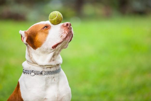 Красивая собака играет с мячом.