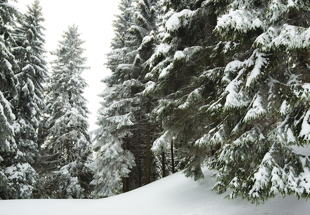 太いふわふわの雪のモミの木が森の中で育つ