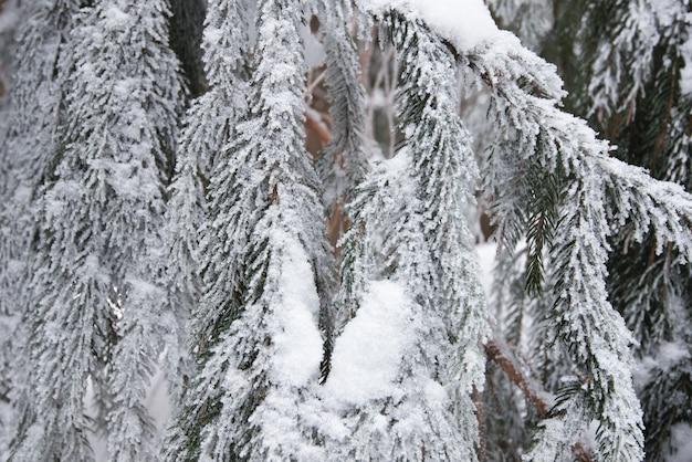 美しい滑らかな雪のモミの枝のクローズアップ