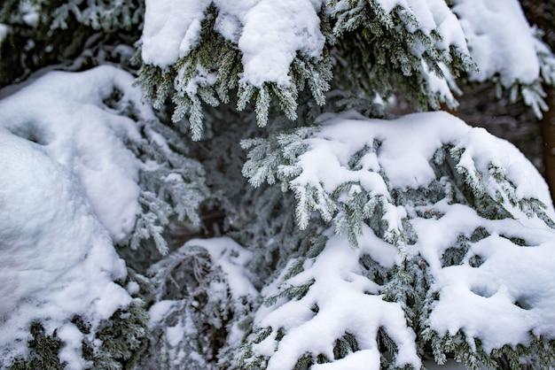 厚い雪に覆われたモミの枝のクローズアップ