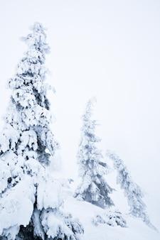 Белые зимние елки, покрытые снегом в лесу