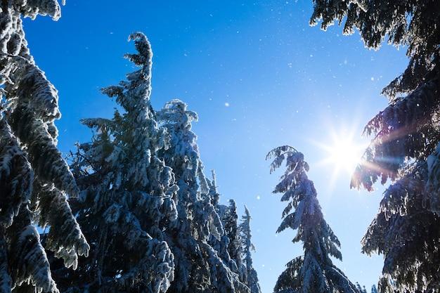 Меховые деревья кроны покрыты снегом в зимнем лесу