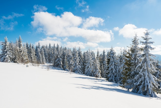 丘の上に伸びる細長い雪のモミの木