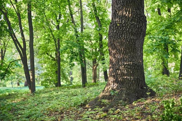 緑の芝生と公園の美しい公園のシーンで大きな樫の木
