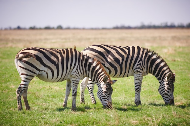Две зебры, пасущиеся на траве
