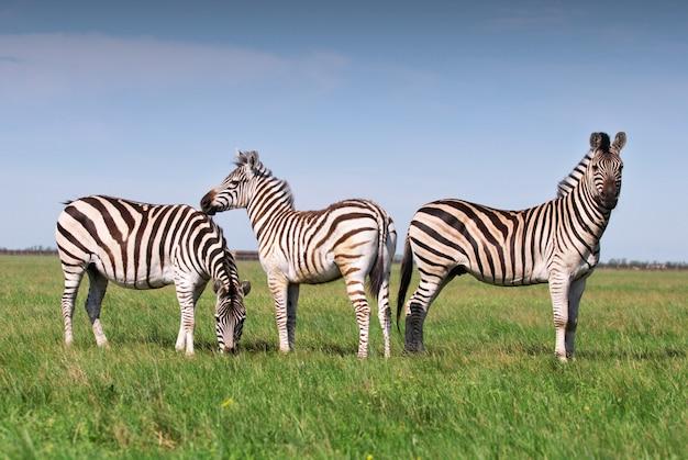 Три зебры, пасущиеся на траве