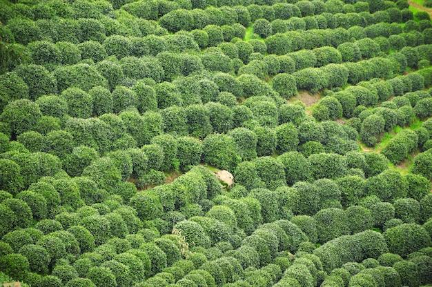 美しい新鮮な緑の中国龍井茶園。杭州西湖西湖