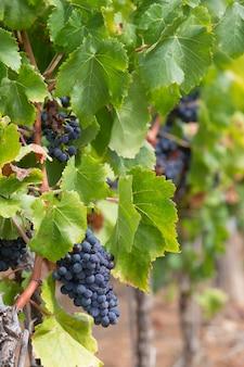 Спелый виноград для красного вина в долине