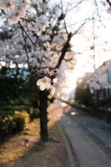 Вишни в цвету в полном расцвете