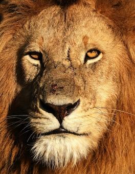 高解像度のライオンの写真