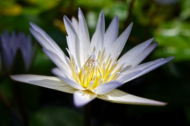 花びらに水滴の大きな白いユリのクローズアップ。花の背景、水生植物