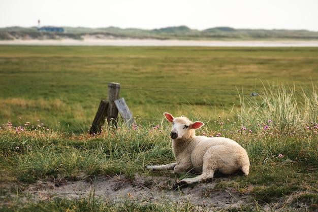 Ягненок, сидящий на траве на заповеднике острова зильт