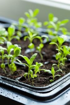 発芽プラスチックトレイで育つ苗木