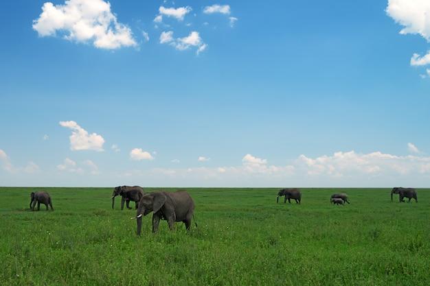 サバンナの野生のアフリカ象のグループ