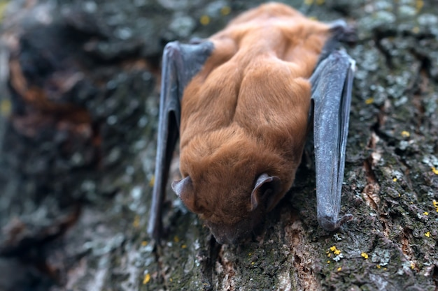 Обыкновенная летучая мышь на дереве