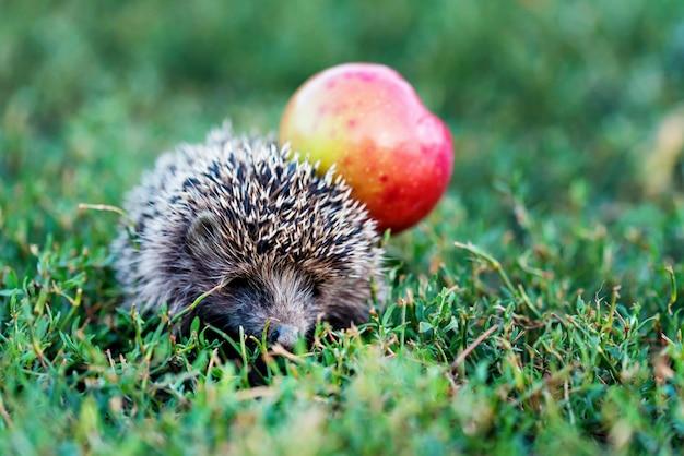 Колючий ежик на зеленой траве с яблоком