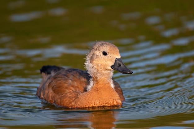 若いルディシェルダック、一羽の鳥が湖で泳ぎます。タドルナフェルギネア