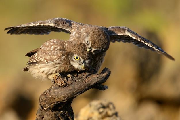 Молодая маленькая сова сидит на палочке с расправленными крыльями