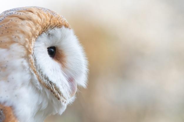 Амбарная сова