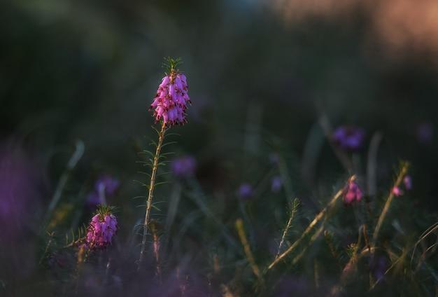 暗い背景でエリカの花