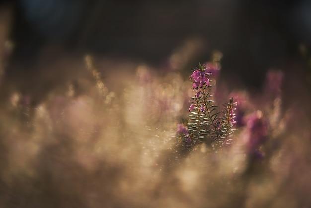 美しいエリカの植物。