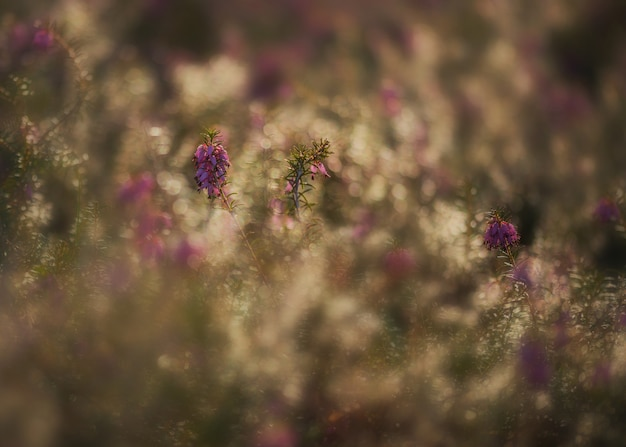 森の早朝にエリカの植物