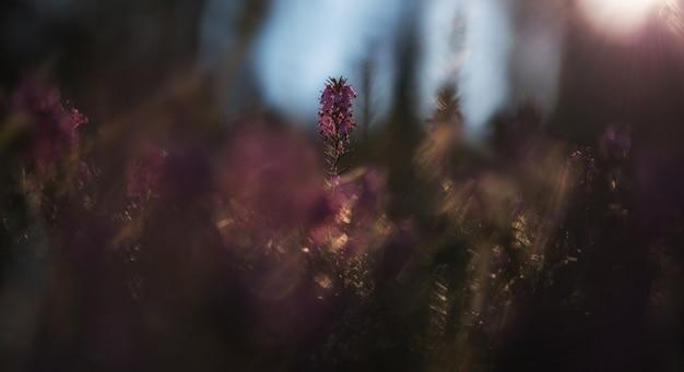 朝のエリカの花