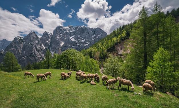 ジュリアンアルプスの山々の羊