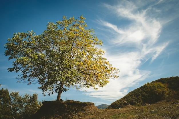 Ореховое дерево в поле