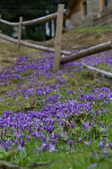 大きな紫のクロッカスフィールド、春のサフラン空き地