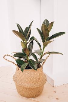 Резиновый завод. домашнее растение на белом. модное домашнее растение. тропическое домашнее растение.
