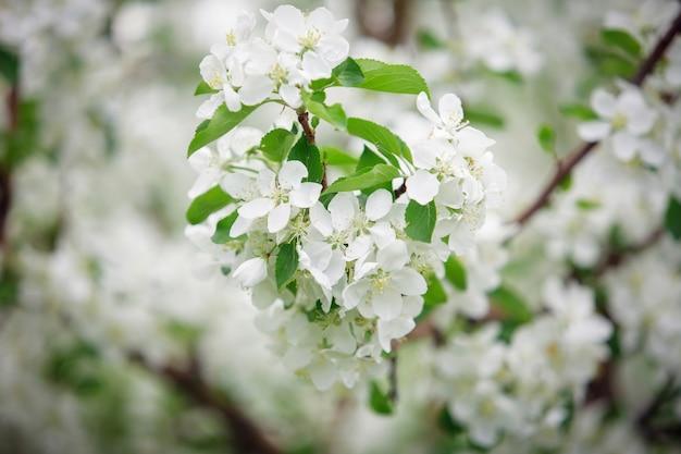 Цветущая яблоня в весеннее время.