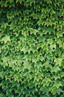 カラフルなアイビーの葉の壁