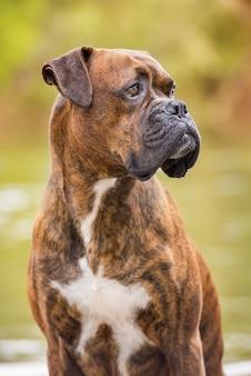 川の近くに座っているボクサー犬の肖像画