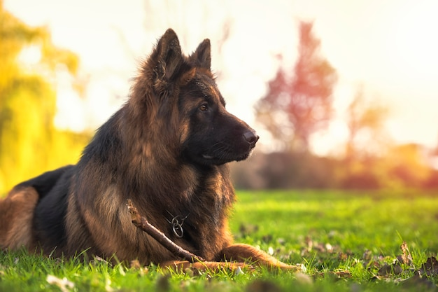 公園で横になっている純血種のジャーマンシェパード犬