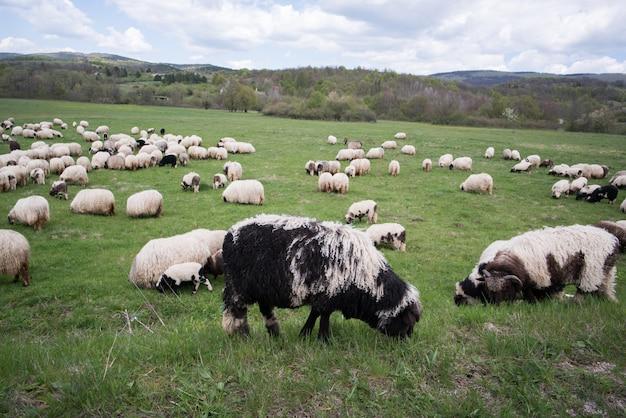 山のフィールドに羊がたくさん