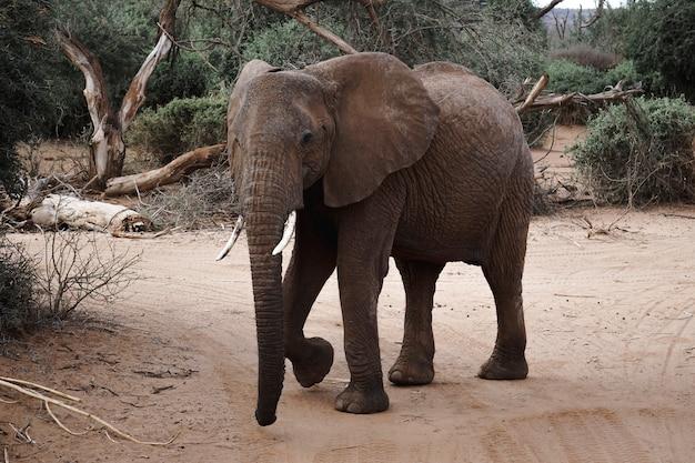 ケニアの自然保護区でアフリカ象